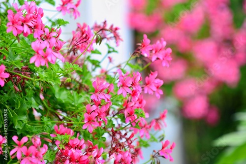 Closeup of a colourful blossoms of flowering pink Geranium.