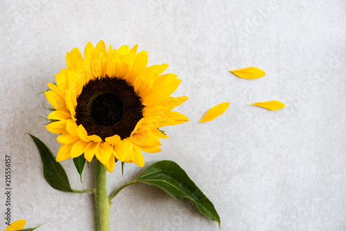 Foto op Canvas Zonnebloem Yellow Sunflower Bouquet on Grey Background, Autumn Concept