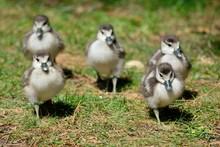 Egyptian Goslings  (alopochen Aegyptiaca) Running Across The Grass