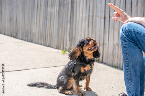 Valokuvatapetti Adorable black and tan Cavalier King Charles Spaniel behaving well and paying attention during a training session outdoors