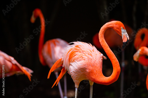 Spoed Foto op Canvas Flamingo Flamingo