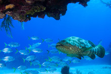 Caribbean Reef Fish. A Goliath...