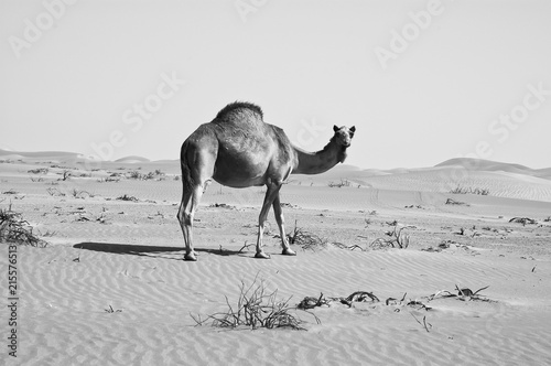 Deurstickers Kameel Camel in the Empty Quarter desert of Arabian Peninsula
