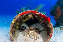 A Caribbean Spiny Lobster Has ...