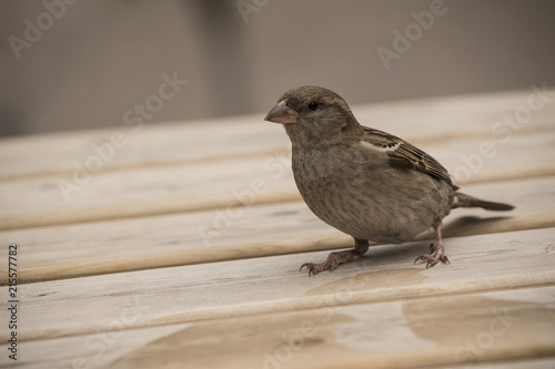 Photo House sparrow on wooden table