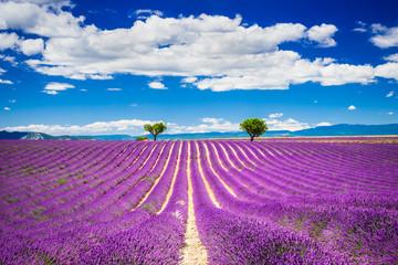 Fototapeta Lawenda Valensole lavander in Provence, France