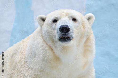 Deurstickers Ijsbeer Белый медведь.