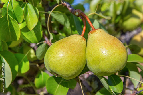 Two green pears hanging at tree