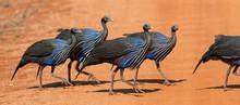 Acryllium Vulturinum (Vulturine Guineafowl)