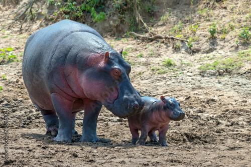 Tablou Canvas Hippo (Hippopotamus amphibius)