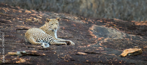 Plakat Lampart w parku narodowym Kenja
