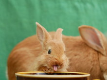 Polonne / Ukraine - 3 June 2018: Rabbits Drink Water From The Cup