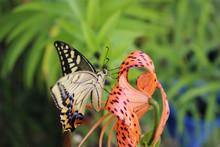 オニユリの花の蜜を吸うアゲハチョウ