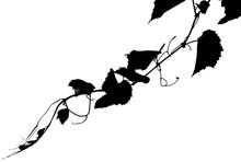 Vigne Noire, Fond Blanc