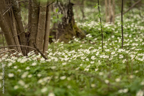 Fotobehang Macrofotografie large field of white anemone flowers in spring