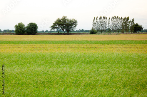 Keuken foto achterwand Weide, Moeras Yellow and green rice field