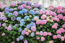 Hydrangea Is Pink, Blue, Lilac, Violet, Purple Flowers And Bushes Are Blooming In Spring And Summer In Town Garden.