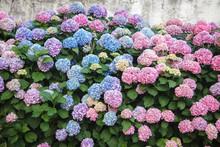 Hydrangea Is Pink, Blue, Lilac...