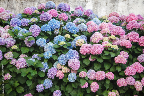 Foto op Plexiglas Hydrangea Hydrangea is pink, blue, lilac, violet, purple flowers and bushes are blooming in spring and summer in town garden.