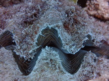 Giant Clam-Diving The Great Ba...