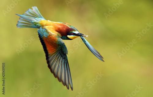 Fotografie, Obraz  European bee eater (Merops apiaster)