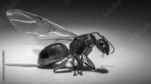 Zdjęcie XXL Zamyka up latająca mrówka