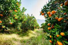 Mandarin Orchard Ready To Be Harvested