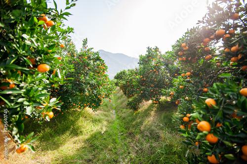 Fotografía Mandarin orchard ready to be harvested