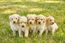 Cute Puppy Mini Goldendoodle