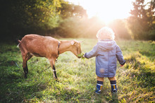 A Little Toddler Boy Feeding A Goat Outdoors On A Meadow At Sunset.