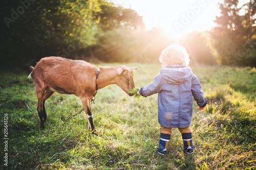 Pinturas sobre lienzo  A little toddler boy feeding a goat outdoors on a meadow at sunset