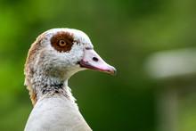 Egyptian Goose With Brown Eyep...