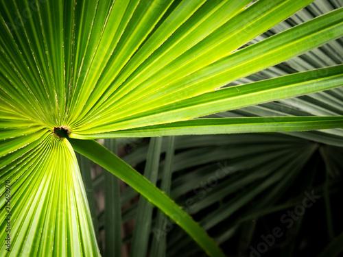 chinski-fan-palmowy-rozprzestrzeniac-lisc
