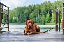 Brown Bordeaux Dog Sits On The Bridge.