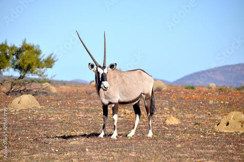 Foto op Aluminium Antilope oryx nel deserto fiorito