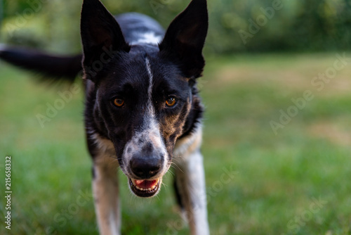 Fotografie, Obraz  Gros plan d'un chien de berger ou de troupeau, le border Collie le regard attent