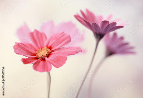 Obraz Różowe pastelowe kwiaty - fototapety do salonu