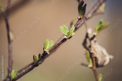 Foto op Plexiglas Lente spring blossoms and leaves on birch trees on blur background