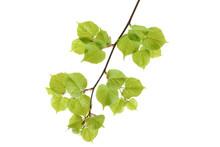 Lime Tree (Tilia) Leaves On White Background