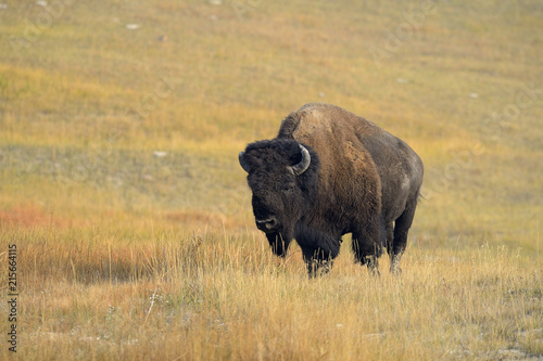 Bison (Bison bison) Bull in Yellow Grass in Autumn, Yellowstone National Park, Wyoming, USA