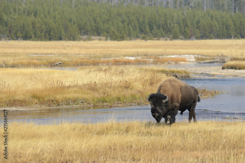 Bison (Bison bison) Bull near River in Yellow Grass in Autumn, Yellowstone National Park, Wyoming, USA