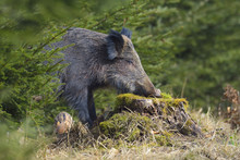 Close-up A Wild Boar (Sus Scrofa) Eating Moss On Tree Stump In Early Spring, Female, Spessart, Bavaria, Germany