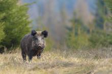 Portrait Of A Wild Boar (Sus S...