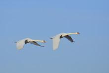 Two Mute Swans (Cygnus Olor), ...