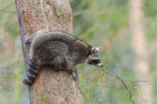 Raccoon (Procyon Lotor) On Tre...