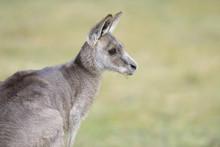 Close-up Portarit Of An Eastern Grey Kangaroo (Macropus Giganteus) On A Meadow In Spring, Bavaria, Germany