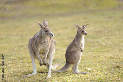 Eastern grey kangaroo (Macropus giganteus) mother with her joey on a meadow in spring, Bavaria, Germany