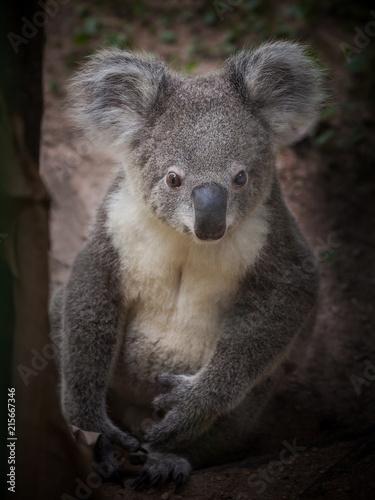 Poster Koala animal,arboreal,aussie,australia,australian,baby,background,bear,branch,brisbane,climb,cuddly,cute,ears,embracing,endangered,eucalyptus,fur,furry,gray,green,grey,isolated,koala,leaf,looking,mammal,mar
