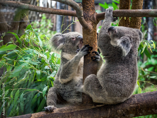 Staande foto Koala koala bear cute
