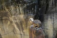 Meerkat, Cameron Park Zoo, Waco, Texas, USA